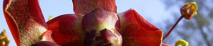 Anklicken um das ganze Bild zu sehen Japanischer Ahorn Blüte rot gelb Acer japonicum