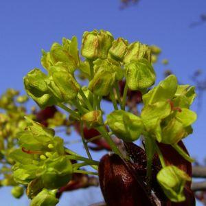Japanischer Ahorn Bluete Acer japonicum 06