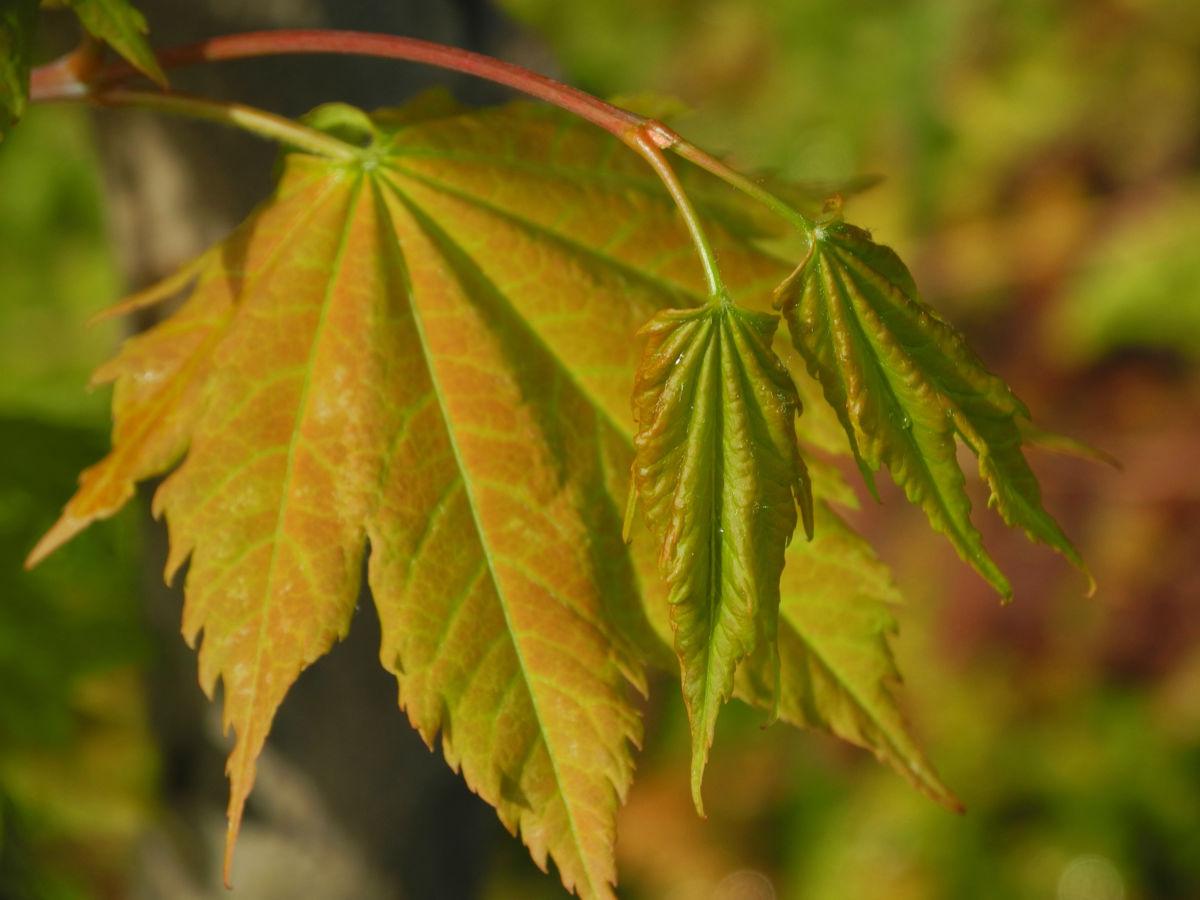 Japanischer Ahorn Knospe Blatt rot gruen Acer japonicum