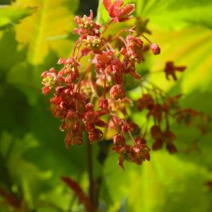 Bild: Japanischer Ahorn Knospe Blatt rot gruen Acer japonicum