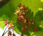 Japanischer Ahorn Knospe Blatt rot gruen Acer japonicum 07