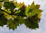Bild: Japanischer Ahorn Knospe Blatt rot grün Acer japonicum