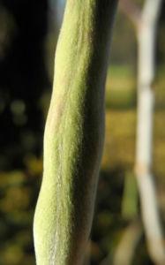 Japanischer Blauregen Frucht gruen Wisteria floribunda 04