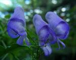 Japanischer Eisenhut Bluete blau Aconitum japonicum 02