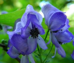 Japanischer Eisenhut Bluete blau Aconitum japonicum 06