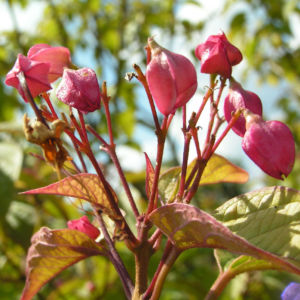 Japanischer Losbaum Bluete pink Clerodendrum trichotomum 03
