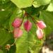 Zurück zum kompletten Bilderset Japanischer Losbaum Blüte pink Clerodendrum trichotomum