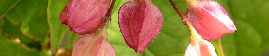 japanischer-losbaum-bluete-pink-clerodendrum-trichotomum