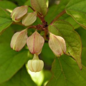 Japanischer Losbaum Bluete pink Clerodendrum trichotomum 06