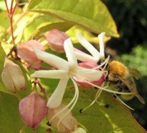 Japanischer Losbaum Bluete pink Clerodendrum trichotomum 07