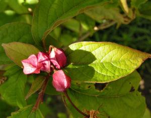 Japanischer Losbaum Bluete pink Clerodendrum trichotomum 08