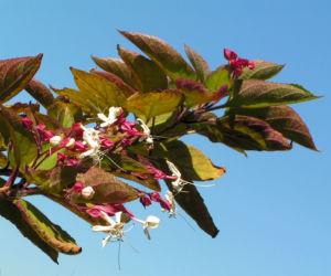 Japanischer Losbaum Bluete weiss pink Clerodendrum trichotomum 01