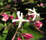 Bild: Japanischer Losbaum Blüte weiß pink Clerodendrum trichotomum