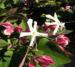Zurück zum kompletten Bilderset Japanischer Losbaum Blüte weiß pink Clerodendrum trichotomum