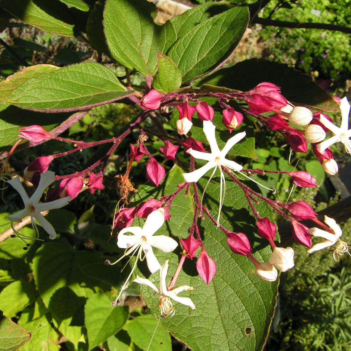 Japanischer Losbaum Bluete weiss pink Clerodendrum trichotomum