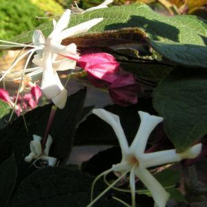 Japanischer Losbaum Bluete weiss pink Clerodendrum trichotomum 06