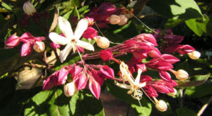 Japanischer Losbaum Bluete weiss pink Clerodendrum trichotomum 07
