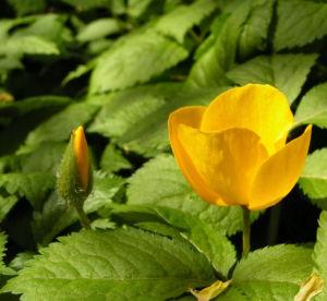 Japanischer Mohn Bluete gelb Hylomecon japonica 04