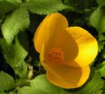Japanischer Mohn Bluete gelb Hylomecon japonica 06