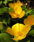 Japanischer Mohn Bluete gelb Hylomecon japonica 07
