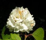 Japanischer Schneeball Bluete weiss Viburnum plicatum 04