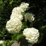Japanischer Schneeball Bluete weiss Viburnum plicatum 05