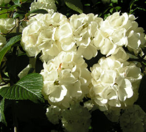 Japanischer Schneeball Bluete weiss Viburnum plicatum 06