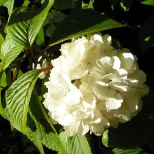 Japanischer Schneeball Bluete weiss Viburnum plicatum 08