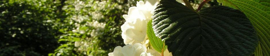 japan-schneeball-bluete-weiss-viburnum-plicatum