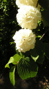 Japanischer Schneeball Bluete weiss Viburnum plicatum 10