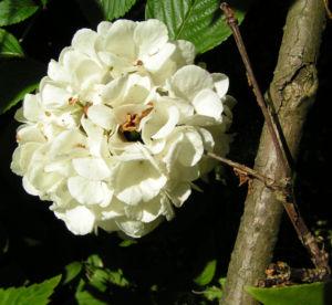 Japanischer Schneeball Bluete weiss Viburnum plicatum 11