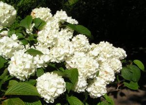 Japanischer Schneeball Bluete weiss Viburnum plicatum 12
