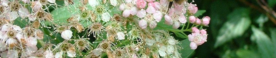Anklicken um das ganze Bild zu sehen Japanischer Spierstrauch Blüte weiß rosa Spiraea japonica