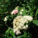Japanischer Spierstrauch Spiraea japonica 04