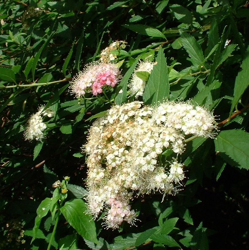 Japanischer Spierstrauch Spiraea japonica