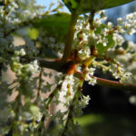 japanischer staudenknoeterich bluete weiß fallopia japonica 10