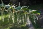 japanischer staudenknoeterich bluete weiß fallopia japonica 11