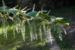Zurück zum kompletten Bilderset Japanischer Staudenknöterich Fallopia japonica