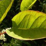 Japanischer Staudenknoeterich Reynoutria japonica 02