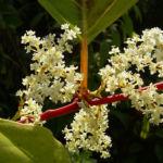 Japanischer Staudenknoeterich Reynoutria japonica 05
