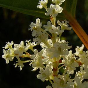 Japanischer Staudenknoeterich Reynoutria japonica 06