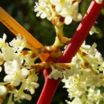 Japanischer Staudenknoeterich Reynoutria japonica 07