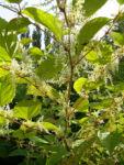 Bild: Japanischer Staudenknöterich Blüte weiß Reynoutria japonica