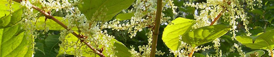 japanischer-staudenknoeterich-bluete-weiss-reynoutria-japonica