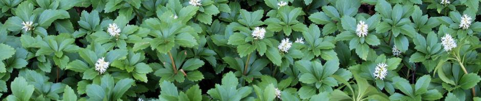 Anklicken um das ganze Bild zu sehen Japanischer Ysander Blüte weiß Pachysandra terminalis