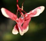 Japanischer Zier Ahorn Frucht rot Acer palmatum 02