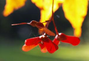 Japanischer Zier Ahorn Frucht rot Acer palmatum 03