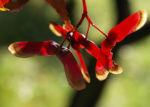 Japanischer Zier Ahorn Frucht rot Acer palmatum 04