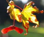 Japanischer Zier Ahorn Frucht rot Acer palmatum 07