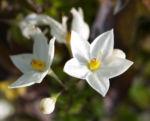 Jasminbluetiger Nachtschatten Bluete weiss Solanum jasminoides 02
